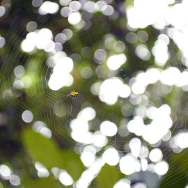 Webbed by Krista Garcia - Nature Up Close Webs ( nature, black and yellow, spider, web, bokeh )