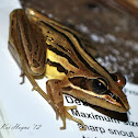 Striped Stream Frog