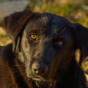 My friend by Cristobal Garciaferro Rubio - Animals - Dogs Portraits ( black dog, dog, eyes )
