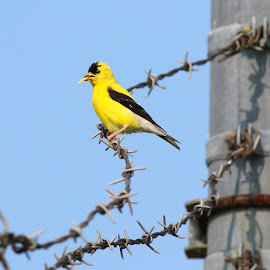 American Goldfinch on Barbed Wire by Jennifer BirdSpazz - Animals Birds ( milwaukee, bird, blue sky, beautiful, american goldfinch, summer, yellow )