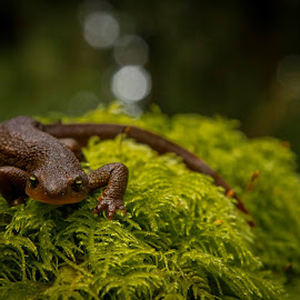 Rough Skinned Newt by Trey Hensley - Animals Amphibians