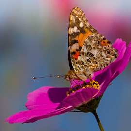 Butterfly on Cosmos by Mariana Keller - Animals Insects & Spiders ( butterfly, butterfy, animal )