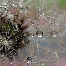 Dandelion Seeds by Lynne McClure - Nature Up Close Other plants ( water drops, dandelion, macro photography, nature up close, seeds )