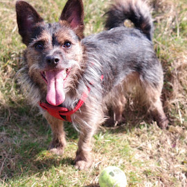Charlie and his ball by Joanna Holland - Animals - Dogs Playing