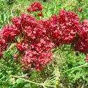 Red Spur Valerian