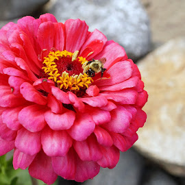 Zinnia and Bee by Mark Mynott - Nature Up Close Gardens & Produce ( bumble bee, petals, pollination, insect, garden, flower )