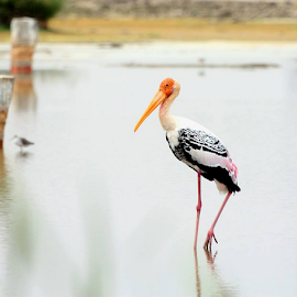 Painted Stork.. by Nithya Purushothaman - Animals Birds