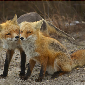 How About Some Fox Love? by Rachel Ellentuck - Animals Other Mammals ( ibsp, fox, island beach state park, wildlife, nature photography )