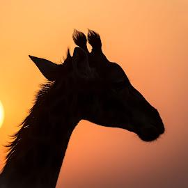 Giraffe at sunset by Rolf Crisovan - Animals Other Mammals ( giraffe, sunset, safari, wildlife, tanzania )