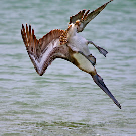 Pelican diving for lunch by Sandy Scott - Animals Birds ( diving pelican, fishing birds, florida birds, fishing pelican, water birds, birds, pelican,  )