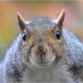 The Thief by Dennis Ba - Animals Other Mammals ( mugshot, portrait, squirrel )