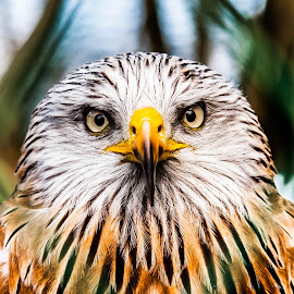 430 by Paul Cobb - Animals Birds ( birds of prey )