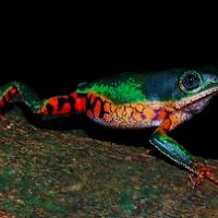 Orange-legged leaf frog