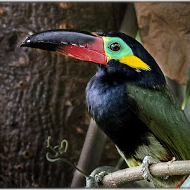 Guianan Toucanet by Renos Hadjikyriacou - Animals Birds ( animals, birds )