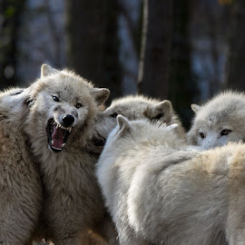 Arctic Wolf by Renos Hadjikyriacou - Animals Other Mammals ( animals, arctic, wolfs,  )