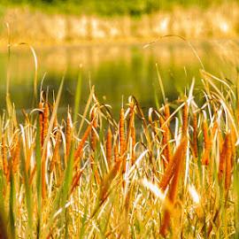 Cattails by Shari Brase-Smith - Landscapes Prairies, Meadows & Fields ( water, reflection, nature, wetlands, cattails, golden hour )