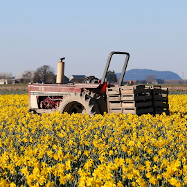Daffodil Farm by Brent Monique Makenzie Moran - Novices Only Flowers & Plants ( canon, 70d, daffodil, flora, sksgit valley, farmland, yellow, skagit county, canon eos, farming, farm, washington, eos, washington state, daffodils, flowers, tractor, flower )