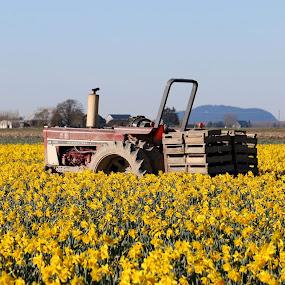 Daffodil Farm by Brent Monique Makenzie Moran - Novices Only Flowers & Plants ( canon, 70d, daffodil, flora, sksgit valley, farmland, yellow, skagit county, canon eos, farming, farm, washington, eos, washington state, daffodils, flowers, tractor, flower,  )