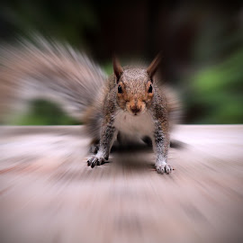 Squirrel  by Jeanne Geroux - Animals Other ( other, zoom effect, rodent, squirrel, animal,  )