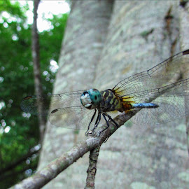 Blue Tailed Dragonfly by Haley Dawn - Animals Insects & Spiders ( nature, tree, blue, dragonfly, insect, bokeh, outside,  )