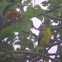Black-naped Oriole