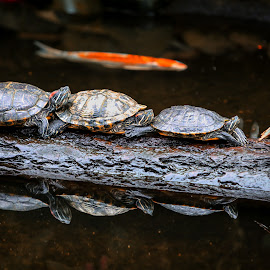 Turtle Train  by Amar Bal - Animals Reptiles ( reptiles, animals, sleepingturtles, turtletrain, fish, turtles,  )