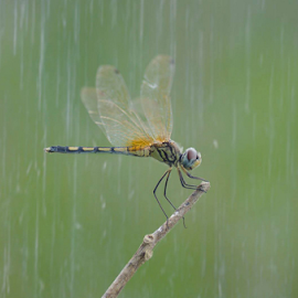 dragonfly in the rain by Mangaloksa Hasibuan - Animals Other (  )