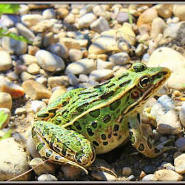 Spots R Us by Sheryl Mayhew Smith - Animals Amphibians