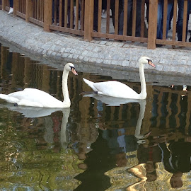 Swans watching People by Gary Bornstein - Novices Only Wildlife