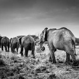 Follow the Leader by Nicole Castanheira - Animals Other Mammals ( elephants, wild, free, nature, black and white, family, herd, africa )