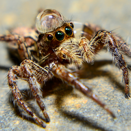 Jumping Spider with a droplet on its head by Rogin Quiño - Animals Insects & Spiders (  )