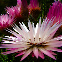 Fynbos of Western Cape