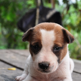 puppy by Ronal Marta Asman - Animals - Dogs Puppies ( baby, young, animal )