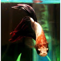 Betta - Siamese fighting fish