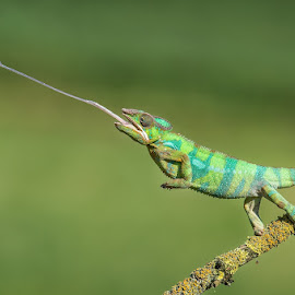 Panther chameleon by Pavel Svoboda - Animals Reptiles ( hunter, reptiles, animals, furcifer pardalis, chameleon )