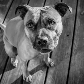 Pitbull Love by Travis Goyette - Animals - Dogs Portraits ( dogs, black and white, family, pitbull, pit bull, dog portrait, cute )