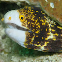 Clouded Moray