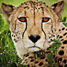 Red Eyed Cheetah by Jackson Visser - Animals Lions, Tigers & Big Cats ( cheetah, spots, red, fast, eyes )