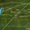 Eurasian Kingfisher