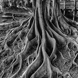Vieny by Jason Johnson - Nature Up Close Trees & Bushes ( vieny, san diego, tree, black and white, balboa park )