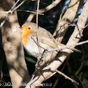 Robin; Petirrojo