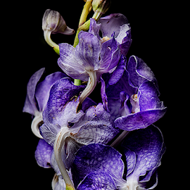 by Saiful El-Shyrazy - Flowers Single Flower