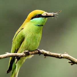 Green Bee-eater by Sankaran Balaji - Animals Birds ( animals, style, nature, green bee-eater, three, birds )