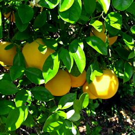 Grapefruit by Tony Huffaker - Nature Up Close Gardens & Produce ( product, fruit, tree, orchard, harvest, grapefruit )