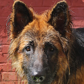 Wet Oscar by Jon Horlor - Animals - Dogs Portraits ( wet, dog, german shepherd, black and tan, portrait )