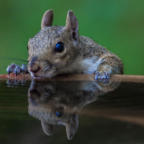 Squirrel drinking by Robert Strickland - Animals Other Mammals ( animals, squirrel, , Backyard, insects, reptiles, living creatures, green, colors, daily life )
