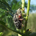 Weevil pair
