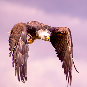 white tailed sea eagle.jpg