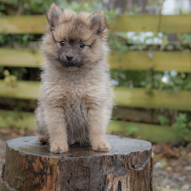 Hugo Boss  by Michael Sweeney - Animals - Dogs Puppies ( scotland, puppy, michael m sweeney, nikon, pomeranian, hugo )