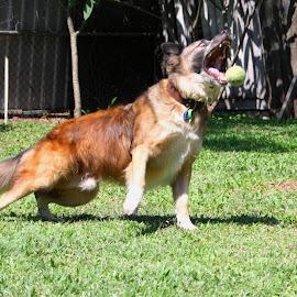 Gotcha! by Carole Pallier Cazzazsnapz - Animals - Dogs Playing ( playing, fetch, ball, fur, dog )